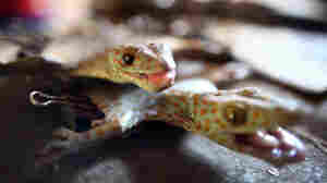 Philippines: Geckos Are A No-Go For AIDS
