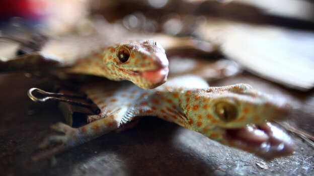 The trade in dried geckos, such as these from Indonesia, is on the rise amid growing demand for their use as an ingredient in medicinal and skin care products in Asia.