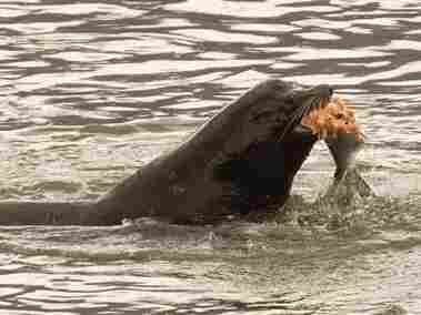 A sea lion eats a salmon in the Columbia River in Washington in 2008. A bill has recently been introduced in Congress to reauthorize the killing of sea lions that are eating the endangered salmon.
