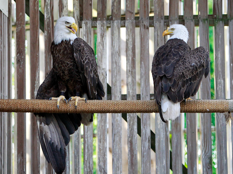 Back together. The female, left, taught her mate how to get up to the perch.