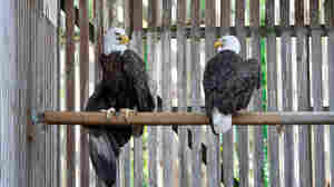 Eagle Love Story: Injured Mates Reunited At Rehab Center