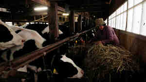 A farmer feeds her cattle at a farm in Futamata, Fukushima prefecture, about 28 miles west from the Fukushima nuclear power plant, on March 20, 2011.