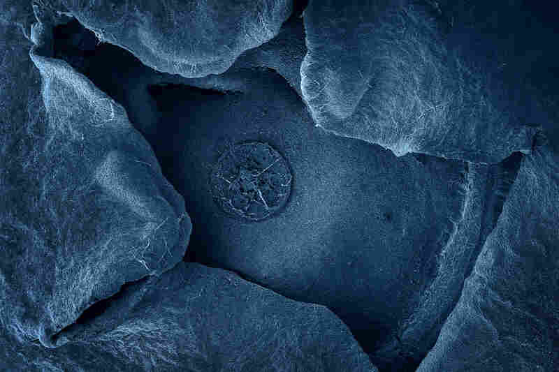 The blue of this blueberry magnified 32 times (terra cibus no. 1: blueberry) has been added in postproduction, as have the colors of all of Alpert's electron microscope images, but she tries to match the colors to be as true as possible. PREVIOUS SLIDE: Sundried tomato, 250 times magnification