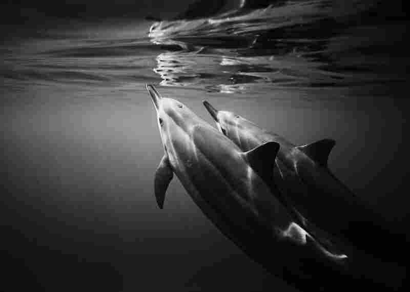 Reflecting Spinner Dolphins