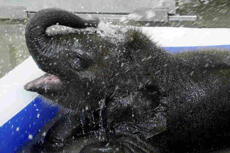 Malee, a 3-month-old Asian elephant, sprays herself with water in her wading pool at the Oklahoma City Zoo on Monday.