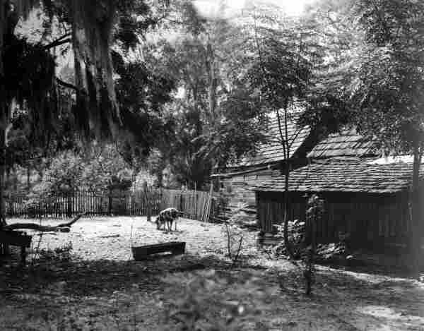 A pig in the yard of the farmhouse used in shooting the MGM film The Yearling.
