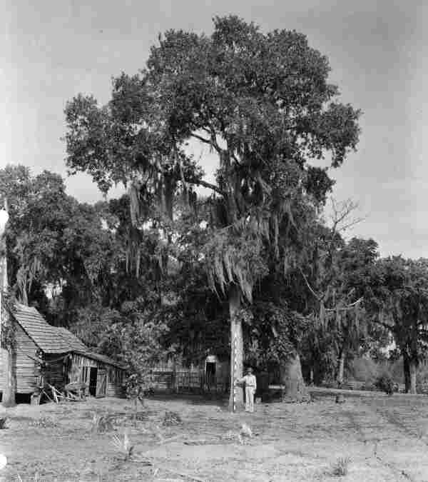 An MGM employee measures a tree at Forrester Place in Central Forida during location scouting for the filming of The Yearling.