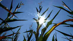 Corn stalks show signs of stress under the continued hot and dry weather conditions July 21, 2011, in Springfield, Ill.