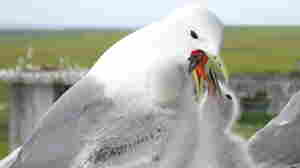 The Kittiwake: Winging It, Survival-Wise