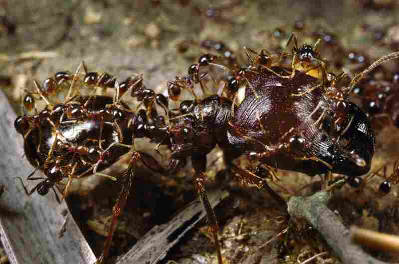Marauder ants coordinate their efforts to forage for food and protect their swarm. Large ants will bus the smaller ants to a particular site to save the colony energy.