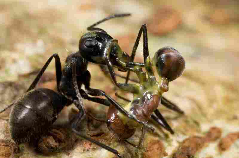 "Some ants protect themselves and their colonies in dramatic ways: A Camponotus cylindricus-group ""exploding ant"" has ruptured her body to spew a sticky yellow substance, which killed both her and the larger worker of another species of carpenter ant in Brunei, Borneo."