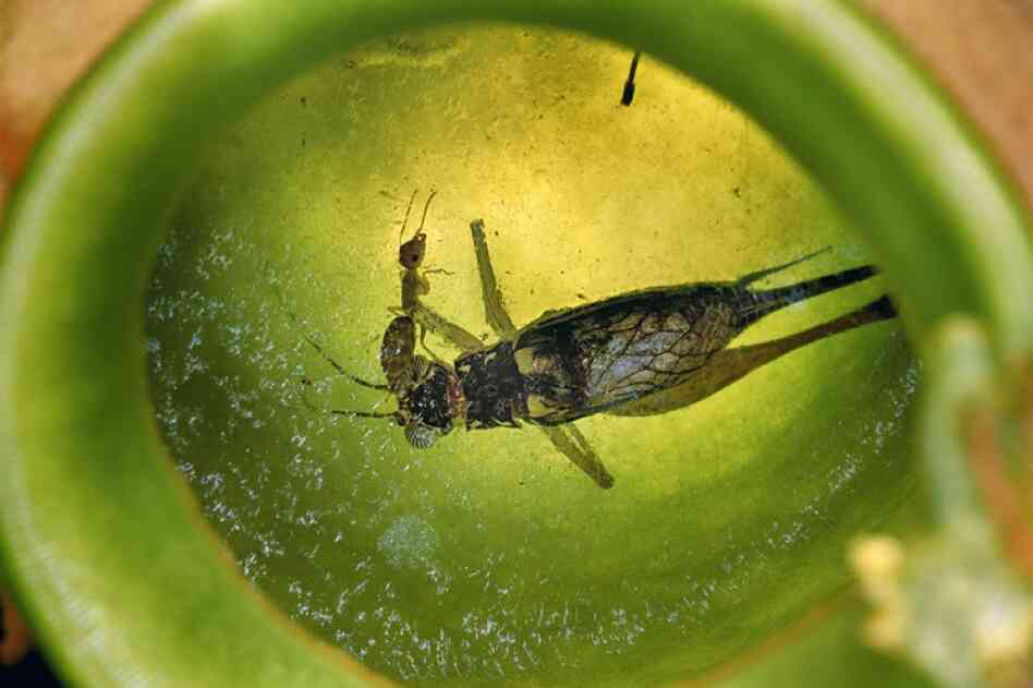 Most ants can swim, at least to some degree. A Camponotus schmitzi worker in Brunei dives into the digestive fluids of a pitcher plant to retrieve the corpse of a cricket.