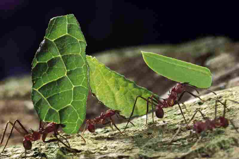 Leafcutter ants carry leaf fragments on Barro Colorado Island, Panama. The leafcutter ant is one of the most destructive to vegetation, causing hundreds of billions of dollars in damage annually.