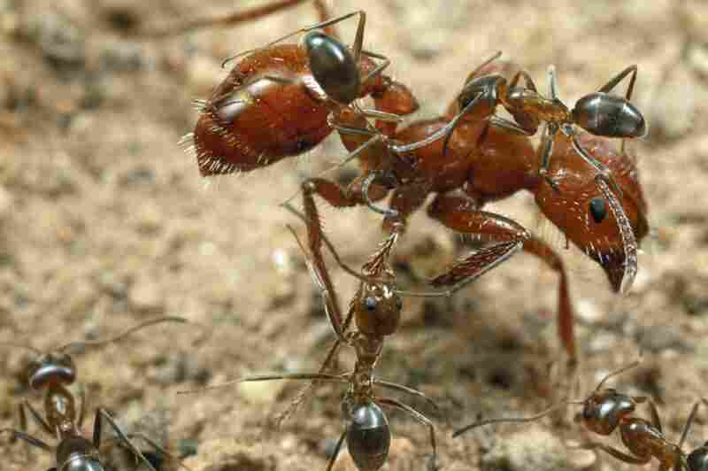 To maintain good hygiene, worker ants will climb on the body of a larger ant and lick her body. Here, the larger ant has begun to kick them away.