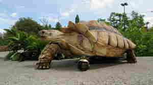 How An Injured Tortoise Rolls Now