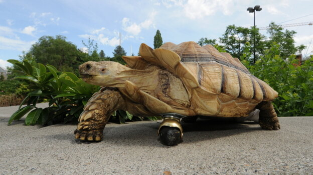 Gamera, a 12-year-old African spur-thighed tortoise, got a wheel from the local hardware store to replace a burned limb that had to be amputated.