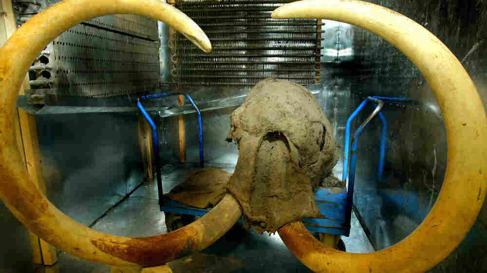 This is what a woolly mammoth looked like — the 10,000-year-old head was found, preserved in ice in the Siberian tundra near the Russian town of Yakutsk in this photo from 2003.