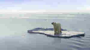 As warming temperatures drive polar bears south, they're starting to mix with brown bears much the way they did thousands of years ago.