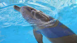 Nari, a dolphin bitten by a shark in February 2009, was almost completely healed one month later.