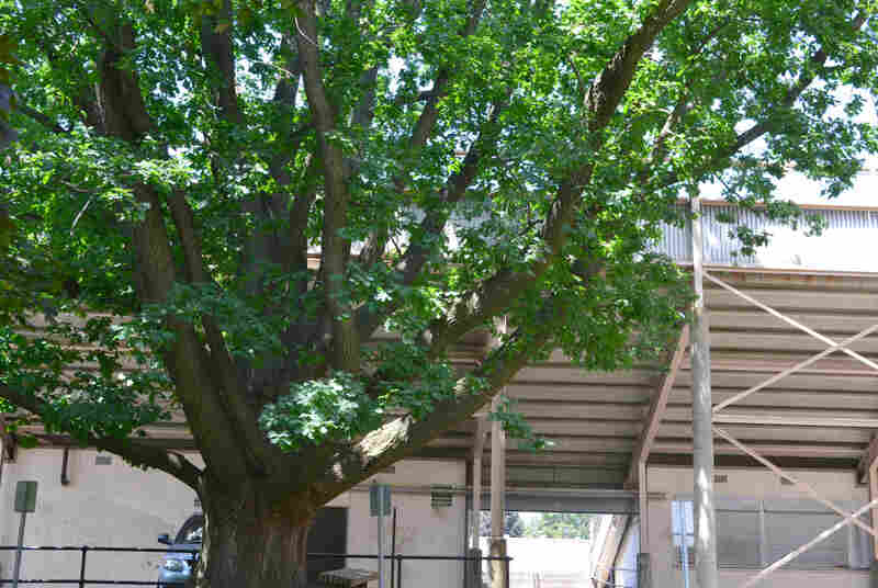 An oak tree brought back to the U.S. by Olympic gold medalist Jesse Owens still lives on his high school's campus, next to the Rhodes High School stadium.