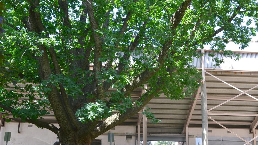 Jesse Owens Legacy Hitlers Oak Tree Grows In Cleveland Npr