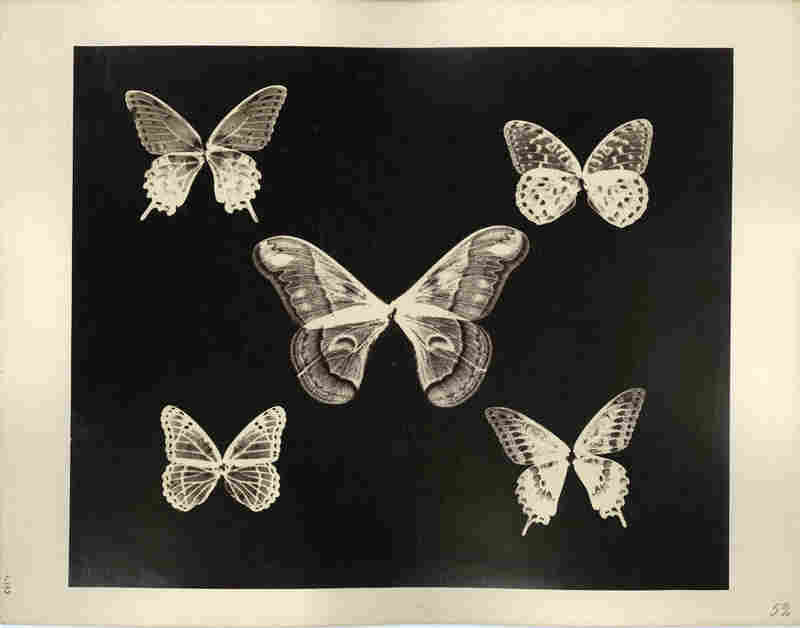 Thomas Gaffield (1825-1900) was a trustee at Massachusetts Institute of Technology (MIT) and was involved in the glass-making industry. He experimented in photography, investigating the patterns on the wings of butterflies (notice the bodies are missing).