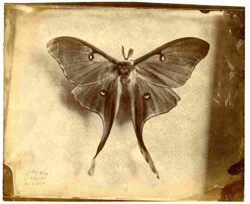 Peale experimented with butterflies to see if photography might be a substitute for hand-rendered illustrations.