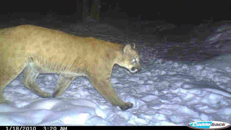A trail camera captures the mountain lion during its journey from west to east.