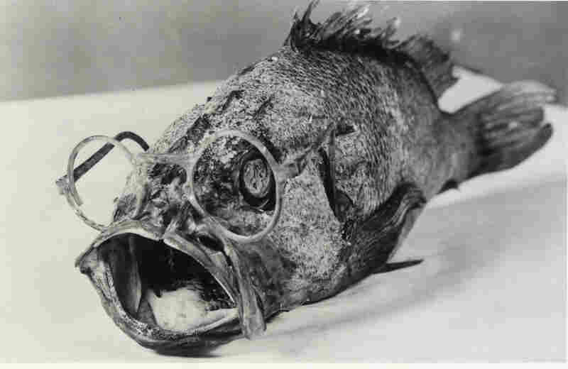 A rock cod was caught sporting spectacles in the waters off Bellingham, Wash. The glasses were identified by Ira D. Erling; his glasses had gone overboard while he in the same area where the fish was caught, 1940.