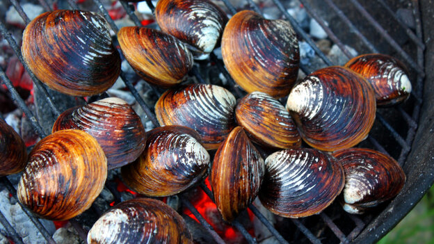 Clams in the shell, over hot coals on a grill