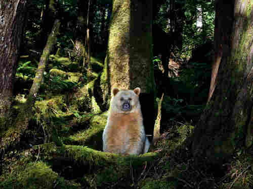 In a forest dominated by second-growth trees, a young bear settles into a mossy day bed at the foot of a giant, old-growth western red cedar.