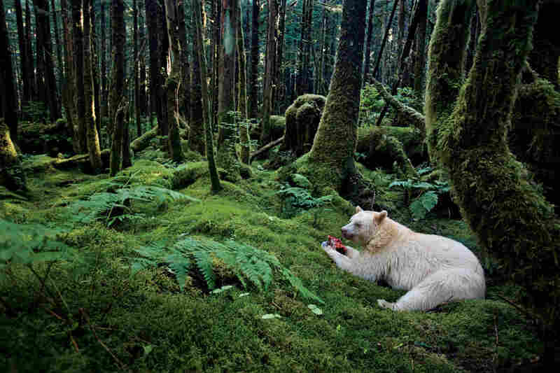 In a moss-draped rain forest in British Columbia, towering red cedars live a thousand years, and black bears are born with white fur.