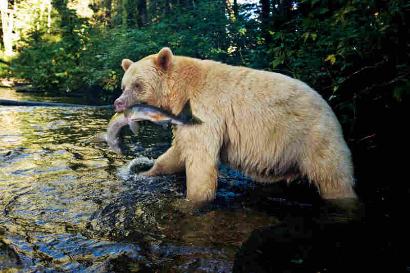 With a pink salmon in its jaws, a 5-year-old male retreats into the forest before slitting open the fish's belly and eating only the eggs. Other bears may consume everything, from head to tail.