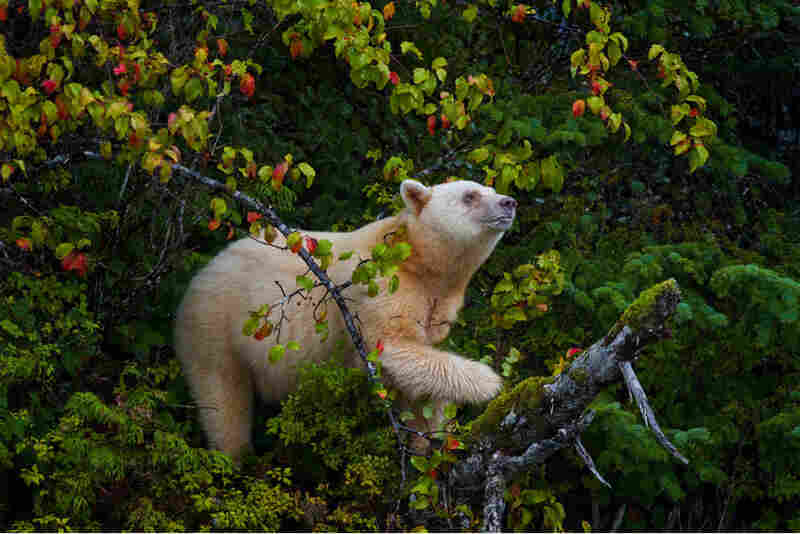 This rare mother Kermode bear climbed a tree to feast on a bumper crop of crab apples in Canada's Great Bear Rainforest.