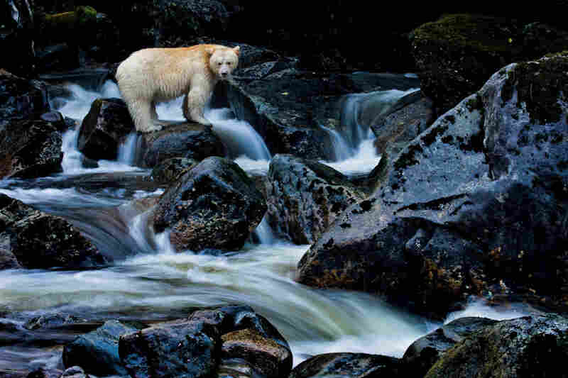 With a population of 400 to as many as 1,000, the spirit bear may owe its survival to the protective traditions of the First Nations, who never hunted the animals or spoke of them to fur trappers.