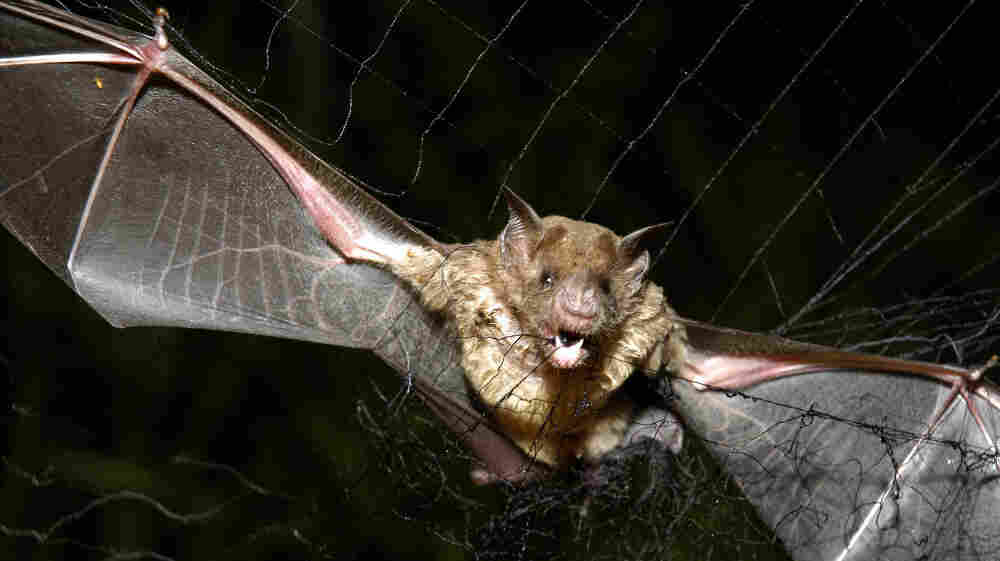 Vampire bats have the ability to detect heat in their surroundings. This enables them to home in on animals that have blood vessels near the surface of their bodies. This vampire bat was caught in a net for a research study in Para, Brazil, in 2005.
