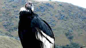 American Zoos Help Return Condor To South America