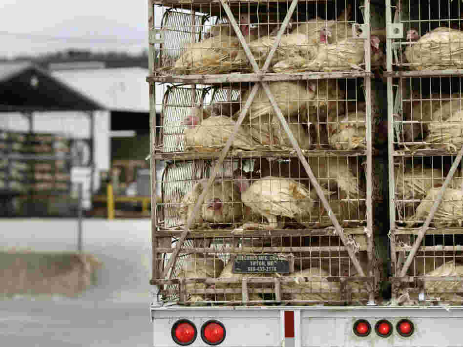 A truckload of live turkeys arrives at the Cargill plant in Springdale, Ark., on Aug. 4. Most turkeys in the U.S. are given low doses of antibiotics, which breed resistant strains of bacteria, including Salmonella.