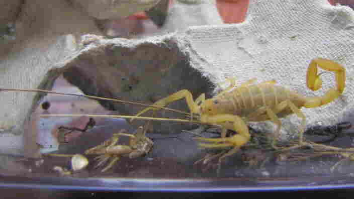 Centruroides sculpturatus, or bark scorpion, is the only scorpion  species that is dangerous to humans. It lives mainly in Arizona but has  turned up in New Mexico and southern Nevada.