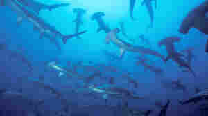 The move by Micronesian islands to create a shark sanctuary two-thirds the size of the U.S. is the latest in a series of shark preservation areas aimed at reviving declining populations. Above, a group of hammerhead sharks swim in the Pacific Ocean off the coast of Malpelo in this undated photo.