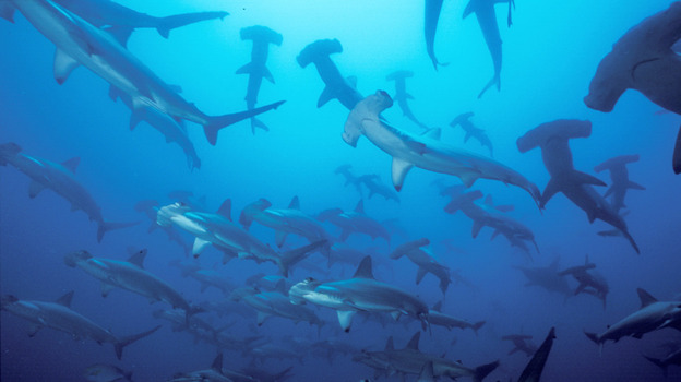 The move by Micronesian islands to create a shark sanctuary two-thirds the size of the U.S. is the latest in a series of shark preservation areas aimed at reviving declining populations. Above, a group of hammerhead sharks swim in the Pacific Ocean off the coast of Malpelo in this undated photo. (AP)