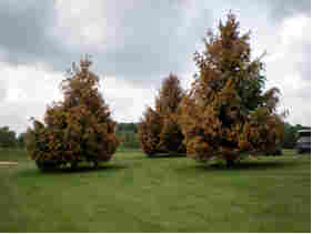 Damage done to these Norway spruce trees has been blamed on contact with Imprelis. DuPont is pulling the herbicide.