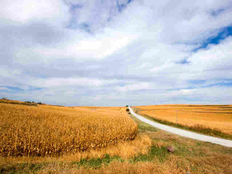 A straight gravel road, connecting Iowa farms to paved highways, passes through fields of sun-ripened corn.