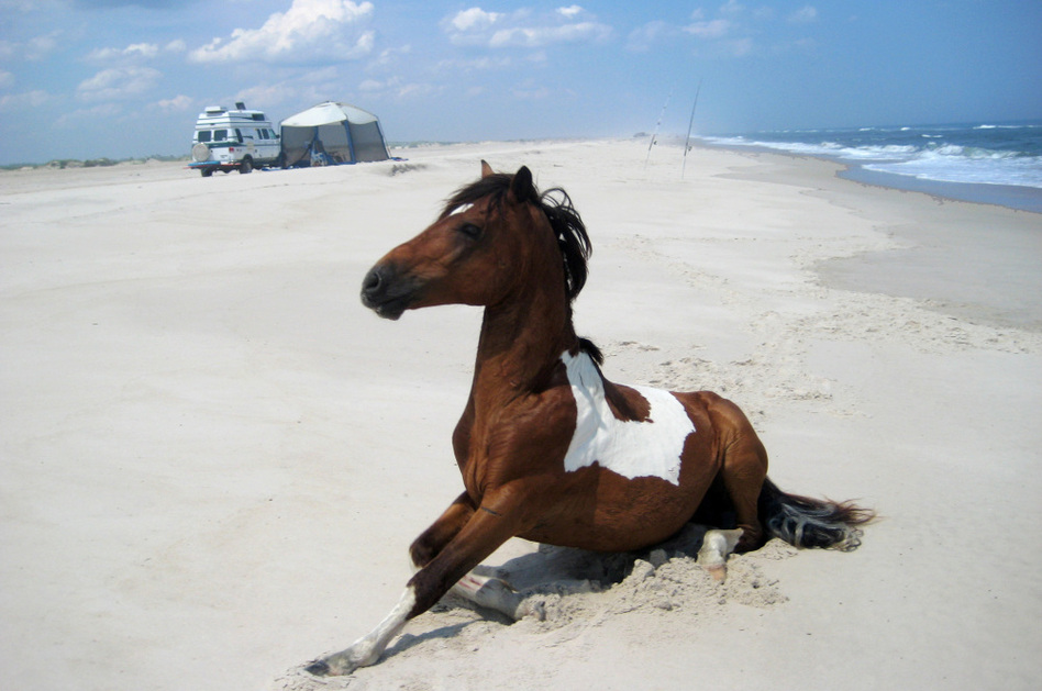A Wild Horse Roams On The Beach Without Regard To Campers At Ateague Island National Seas
