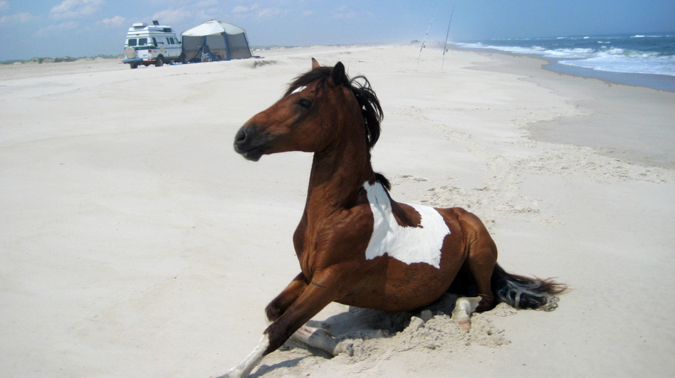 A wild horse roams on the beach without regard to campers at Assateague Island National Seashore, Maryland.
