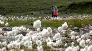 Neal Conan stands with Gretel Ehrlich in the fields of cotton grass at Cline Creek.