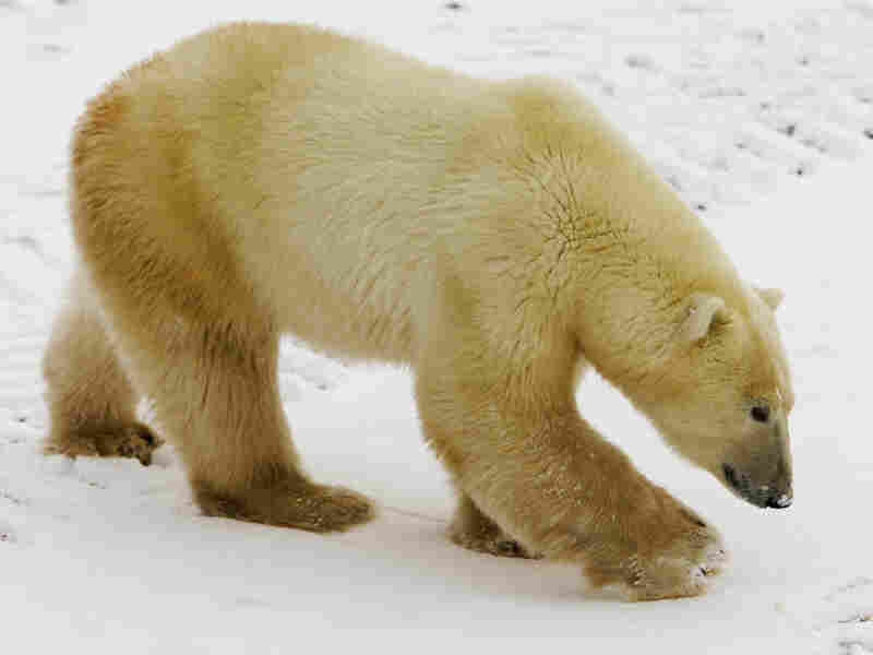 A Polar Bear walks on the edge of Hudson Bay ahead of the full freeze-over Nov. 14, 2007, outside Churchill, Mantioba, Canada. Polar Bears return every year to Churchill, the Polar Bear capital of the world, where they remain hunting for seals on the icepack until the Spring thaw.