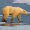 Polar Bear Scientist Faces Fresh Questions
