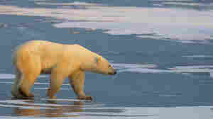 Polar Bear Scientist Faces Fresh Questions