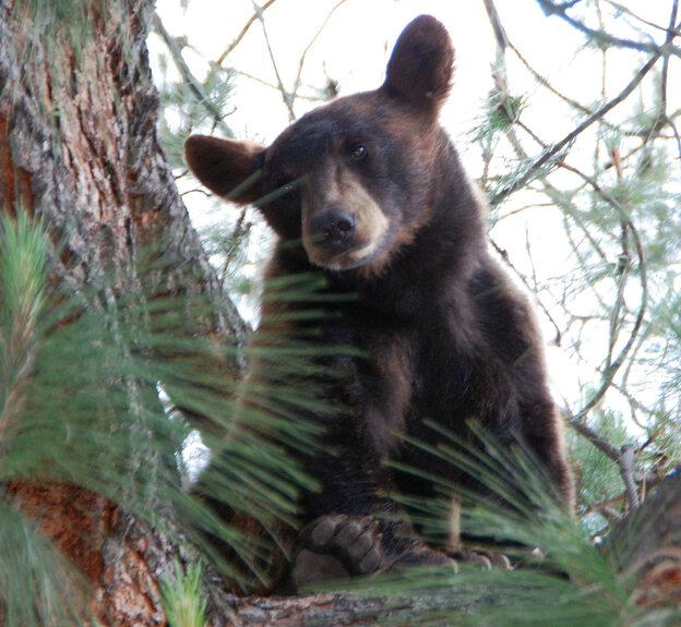 """Bear Woman"" Lynne Gravier tu"